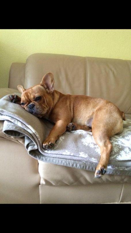 French Bulldog Puppy frenchbulldogpuppy Sprüche