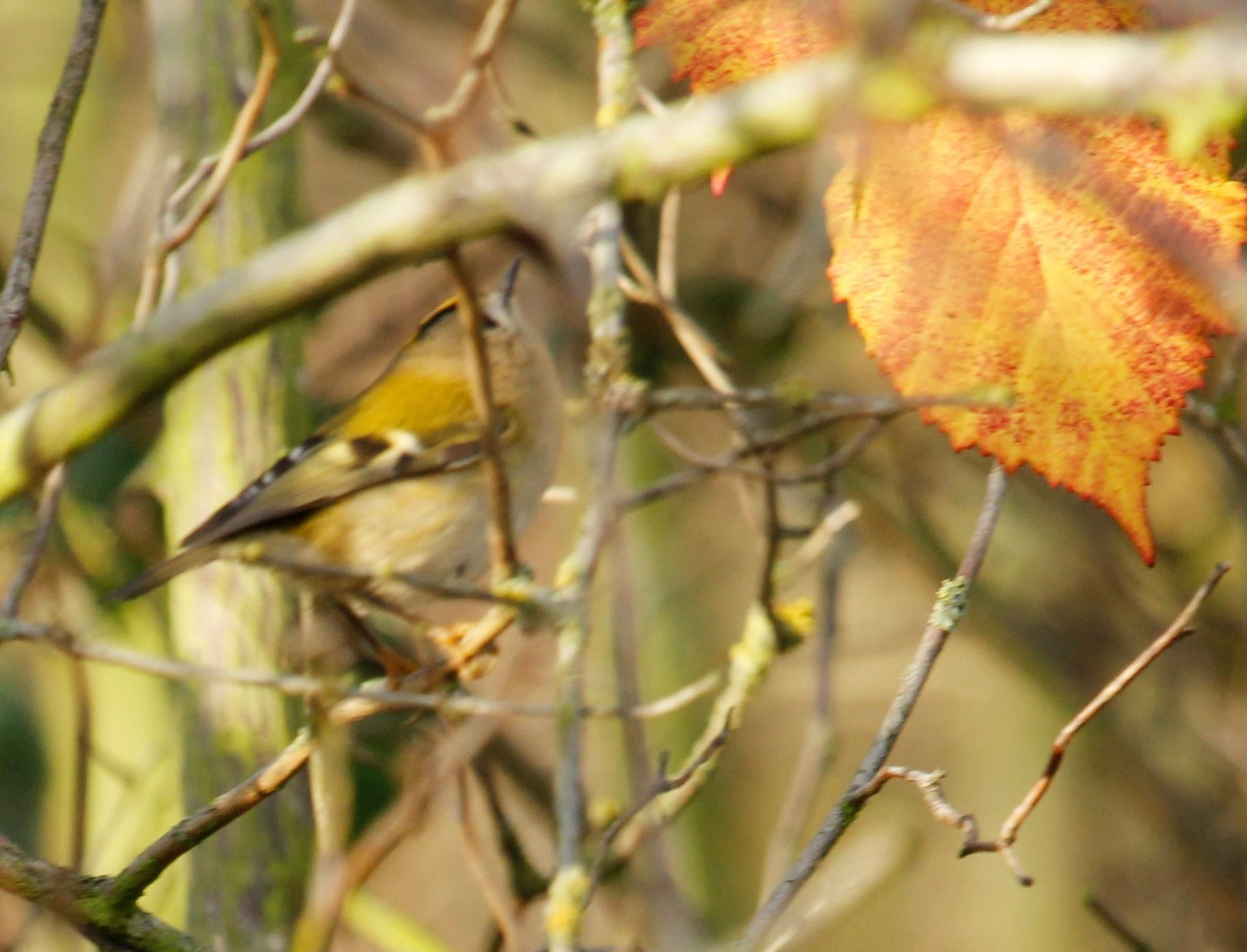 Cheeky Goldcrest...looking for food