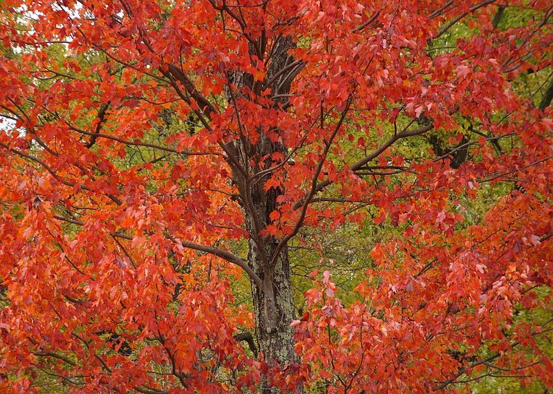 Maple Tree Bark Diseases Things About Trees Maple Tree Bark Maple Tree Tree Bark