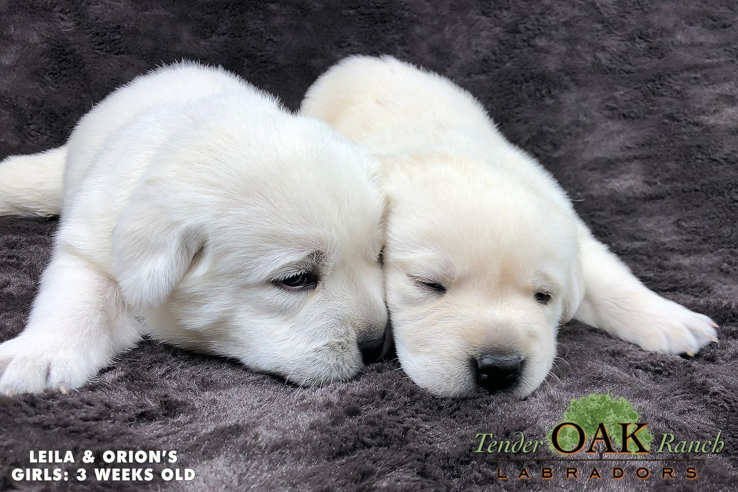 Labrador Puppies For Sale In San Diego Yellow Lab Puppies Lab Puppies Labrador Puppies For Sale