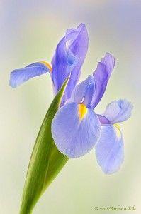 just so beautiful - love Irises