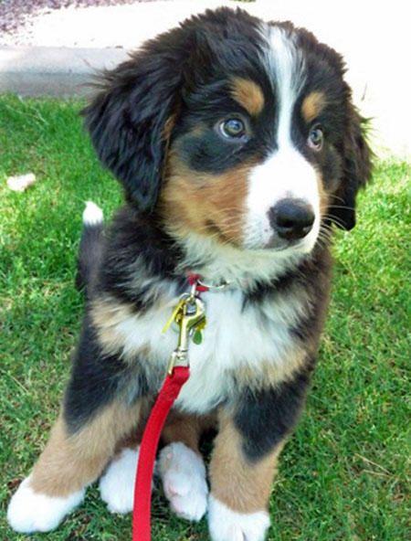 baby mountain dog