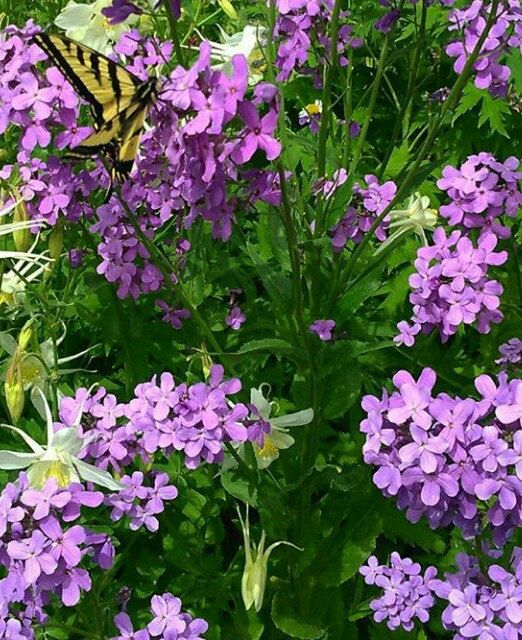 Every garden must have Fragrant Wild Phlox Flowers, also known as ...