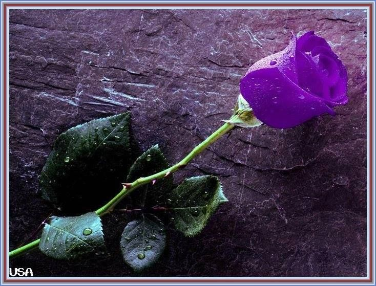 Single Purple Rose With Images Beautiful Red Roses Images Red