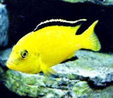 Electric Yellow Cichlid Tropical Fish Tanks Tropical Fish African Cichlid Aquarium