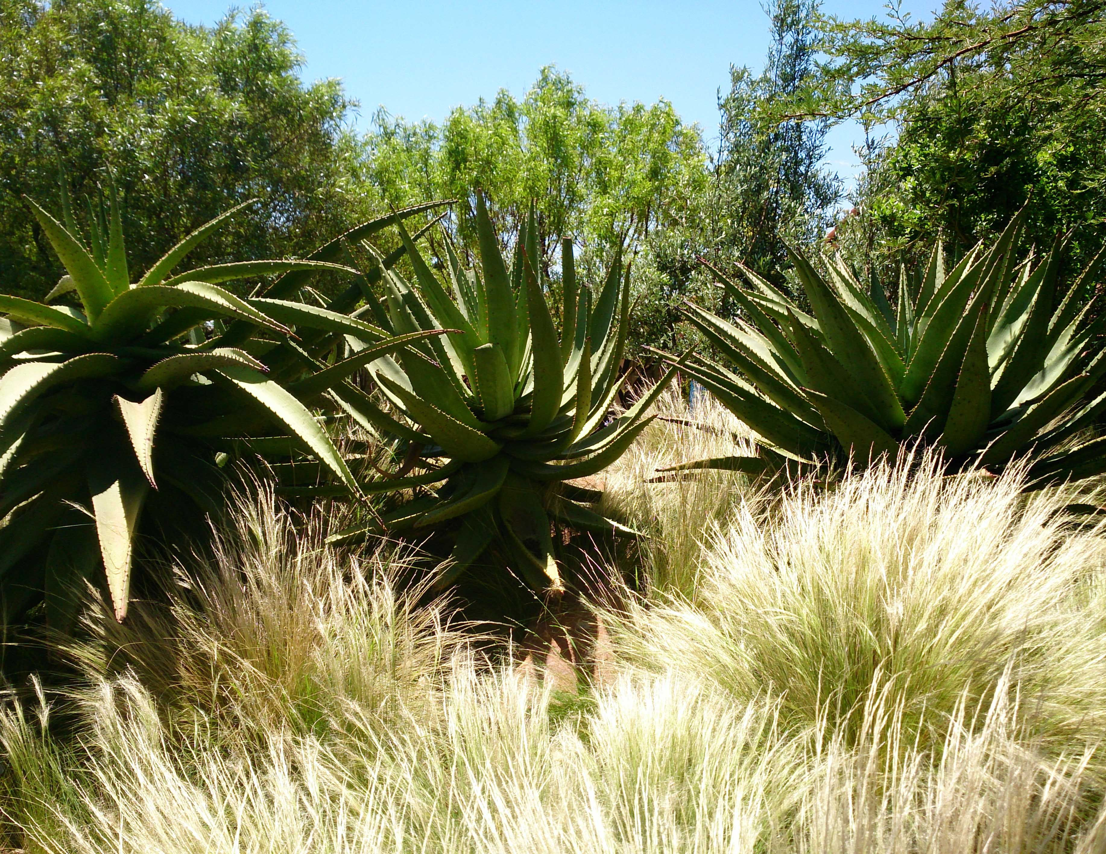 96 best Indigenous South African Garden images on Pinterest