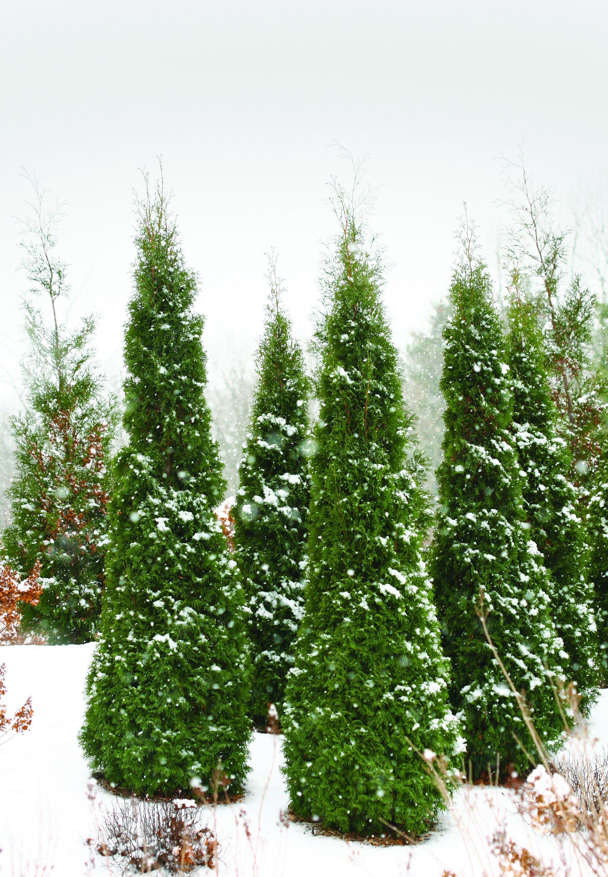 North Pole Arborvitae Thuja Occidentalis Arborvitae Landscaping Evergreen Landscape Privacy Plants