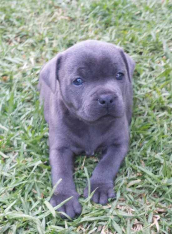 Omg This Is A Total Cutie Alert Pure Blue English Staffy Puppies For Sale One Adorable Male And Fe English Staffy Puppies Staffy Puppies For Sale Puppies