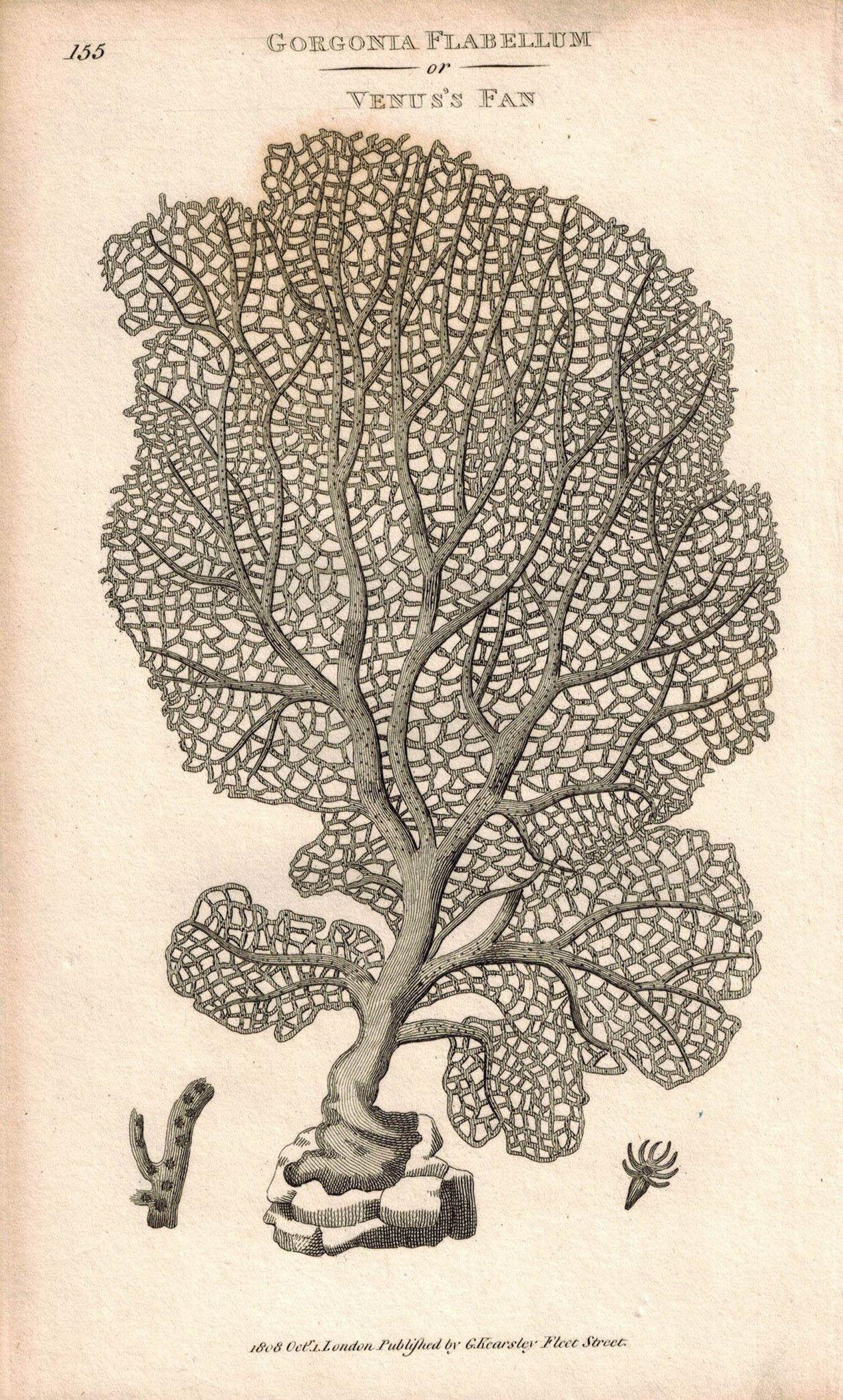 Gorgonia Flabellum or Venus's Sea Fan Coral 1809 Original Engraving Shaw Print