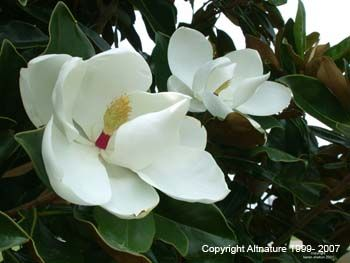 Magnolia Bark Magnolia Glauca Properties And Uses Magnolia Species Are Used For Their Aromatic Stimulant And Tonic Prope Medicinal Herbs Herbs Magnolia