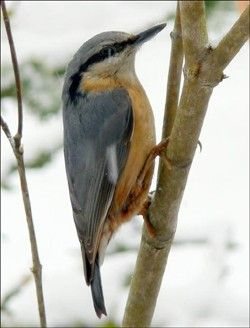 Oiseau sittelle oiseaux pinterest oiseaux petits for Petit oiseau gris