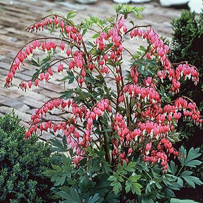 Dicentra Spectabilis K Van Bourgondien In 2020 Bleeding Heart Shade Perennials Perennials