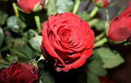 Eine der wunderschönen Rosen aus meinem gewonnenen Rosenstrauß :-)