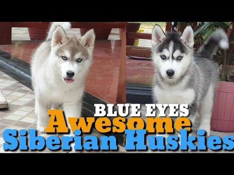 Beautiful Siberian Husky Blue Eyes Home In Siliguri Light Copper