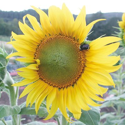 Sunflowers Sunflower Sunseed Sunflower Sunflower Flower Sunflowers And Daisies