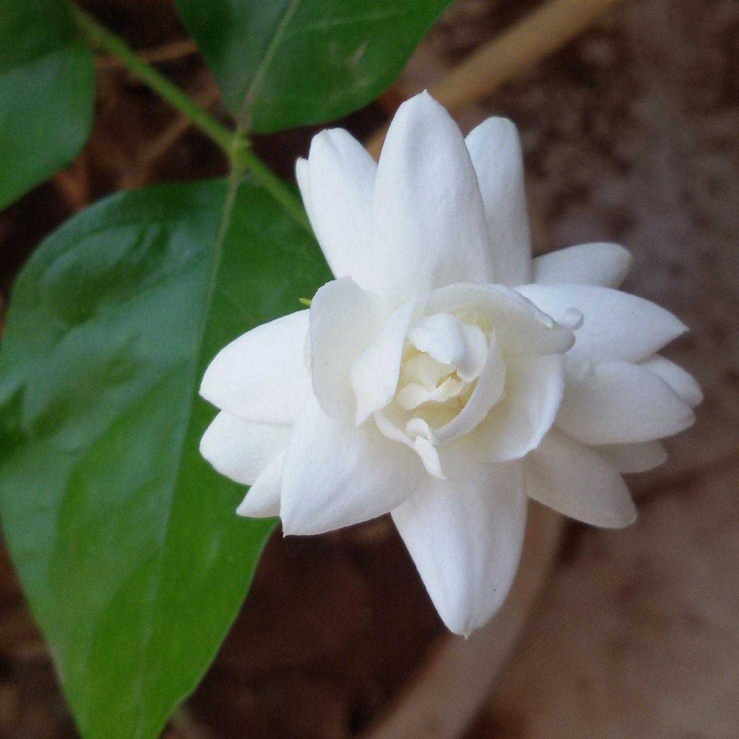 Best Tips For Growing Jasmine Mogra Jasmine Flower Trees To Plant Planting Flowers
