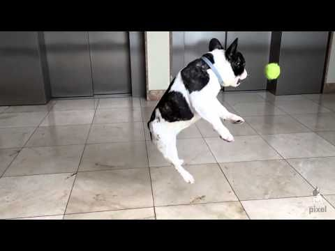 Pixel the French Bulldog in epic slow motion! - YouTube | puppies ...