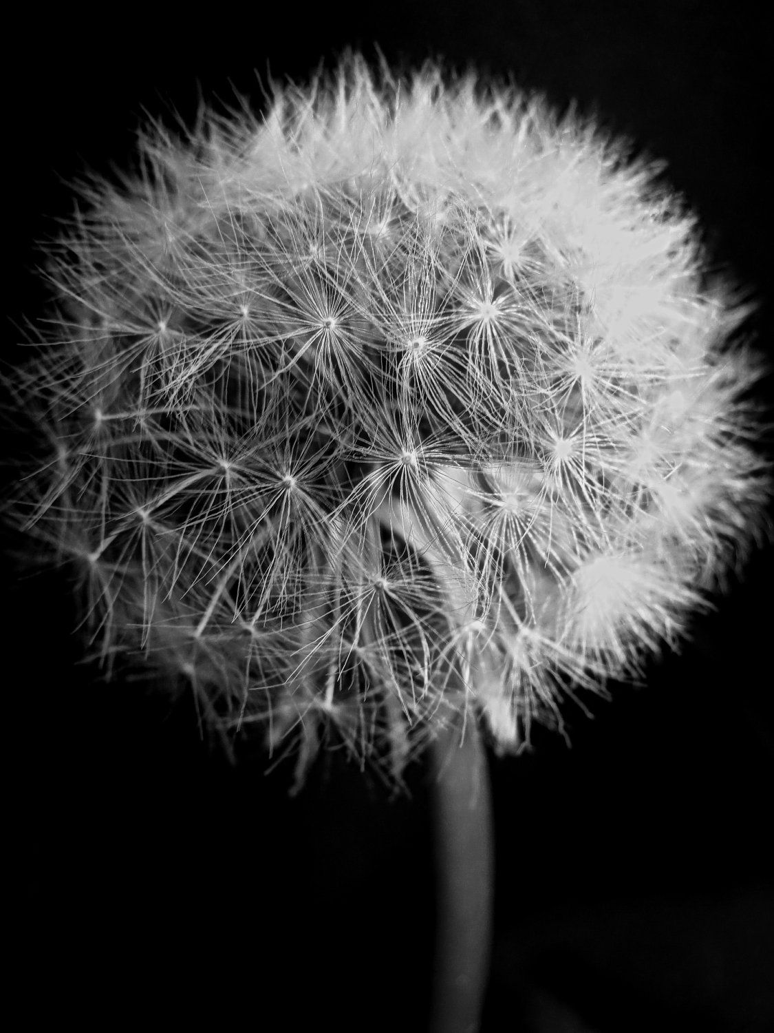 Black And White Dandelion Puff By Creamcityimagery On Etsy 20 00 White Dandelion Black And White Photography White Photography