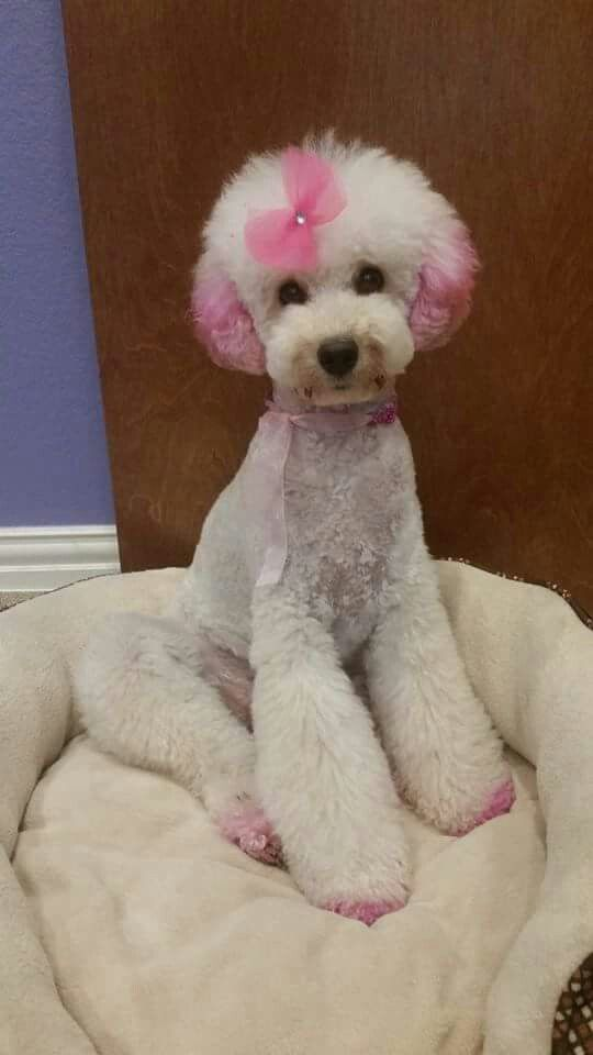Dyed Poodles Pet Grooming
