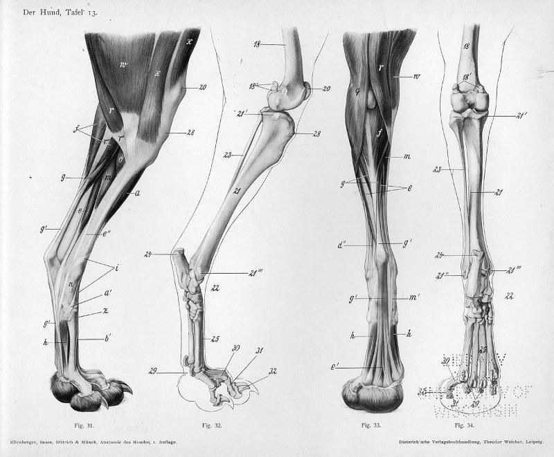 Dog anatomy - hind legs 2 | Veterinary stuff! | Pinterest | Dog ...