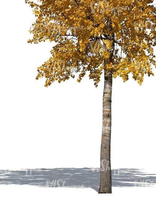 Trunk Of An Aspen Tree In Autumn In 2020 Aspen Trees Plants Tree