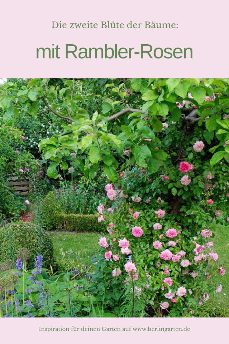 Zweite Blute Rose Im Apfelbaum Berlingarten Pflanzen Garten Apfelbaume Pflanzen
