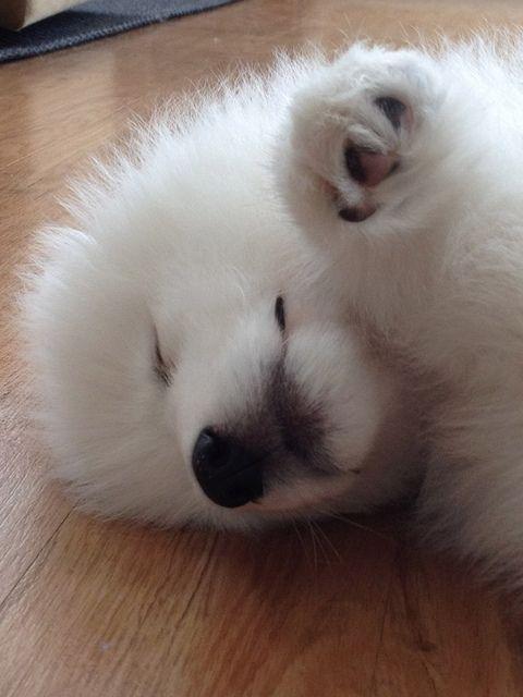 9 Weeks Old Samoyed Puppy Looks Like A Polar Bear Samoyed