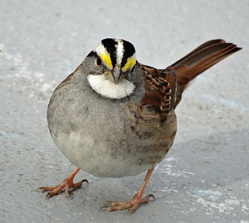 Whitethroated Sparrow Little birds, Birds, Beautiful birds