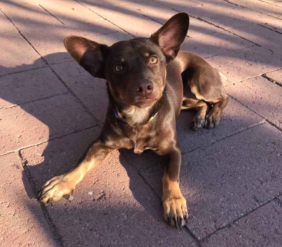 Chihuahua Dog For Adoption In Phoenix Az Adn 518588 On Puppyfinder Com Gender Male Age Young Dog Adoption Pets Kitten Adoption