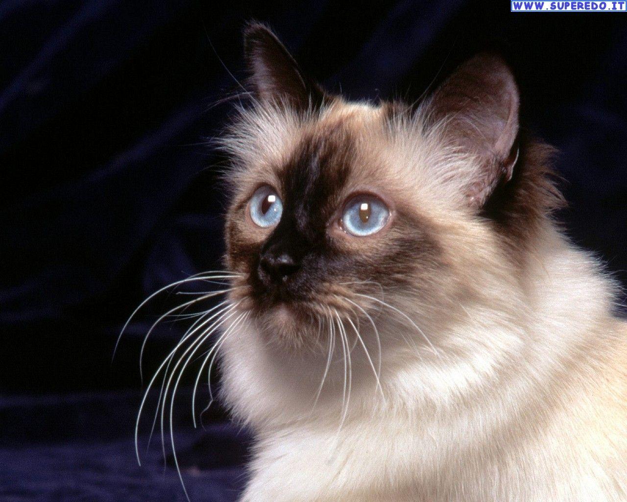 dettagli immagine relativi a sfondi gatti esotici sfondi in alta definizione hd animals