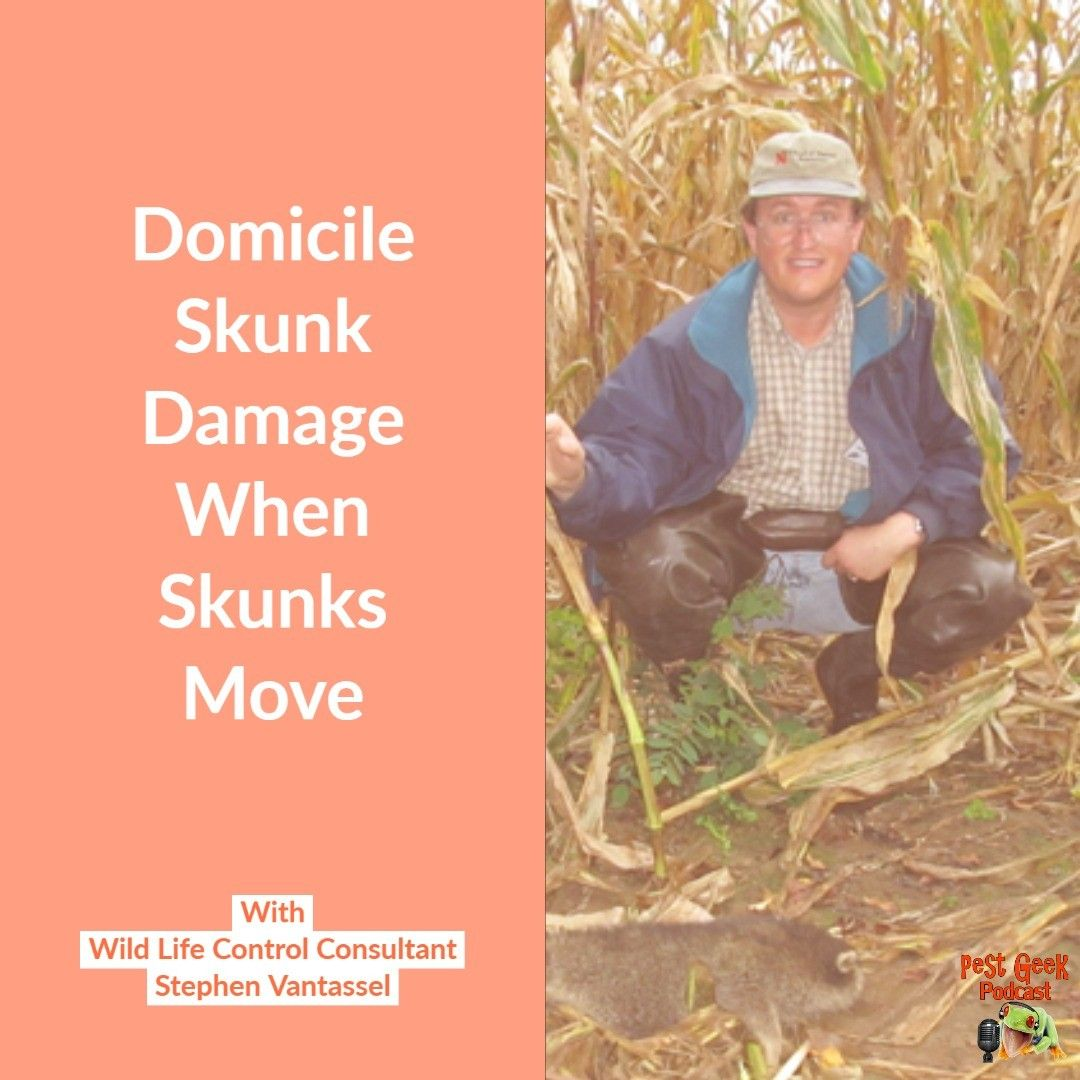Domicile skunk damage when skunks move in and live with
