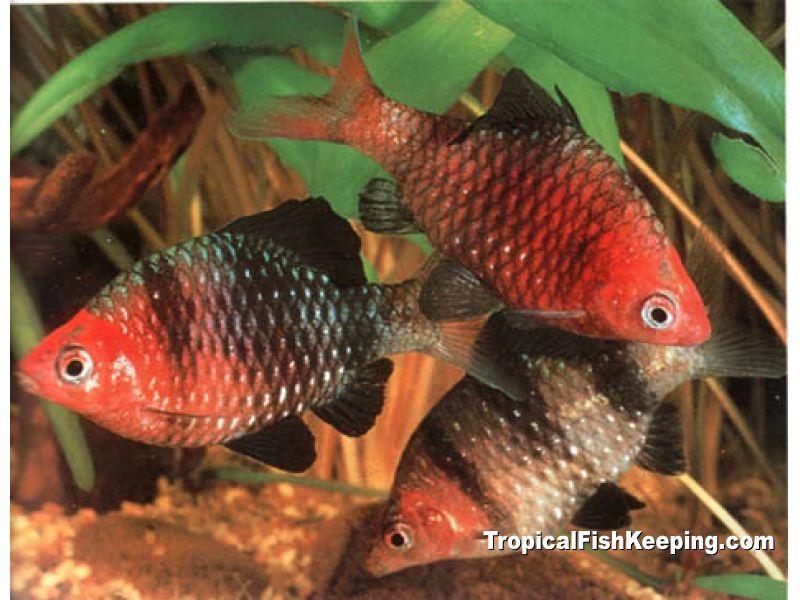 Black Ruby Barb 3 Aquarium Fish Tropical Fish Best Aquarium Fish