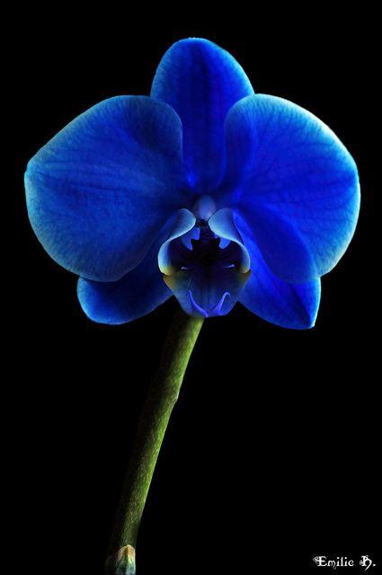 Orchid Azul Flores Pinterest Orquideas Azules Flores Azules