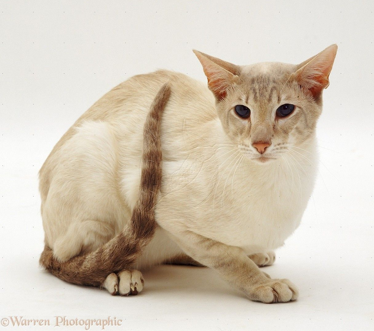 Lilac Tabby Point Siamese Male Cat Photo Oriental Shorthair Cats Siamese Cats Oriental Shorthair