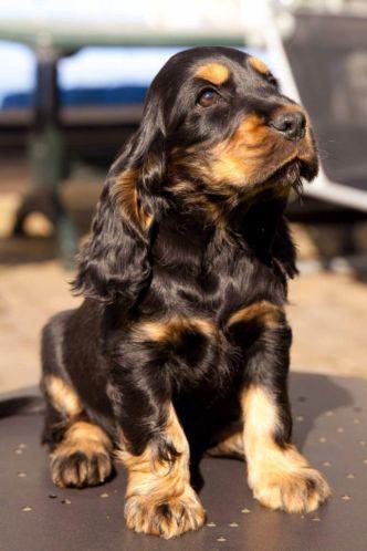 English Cocker Spaniel Pup Classic Look Trim Spaniel Pups