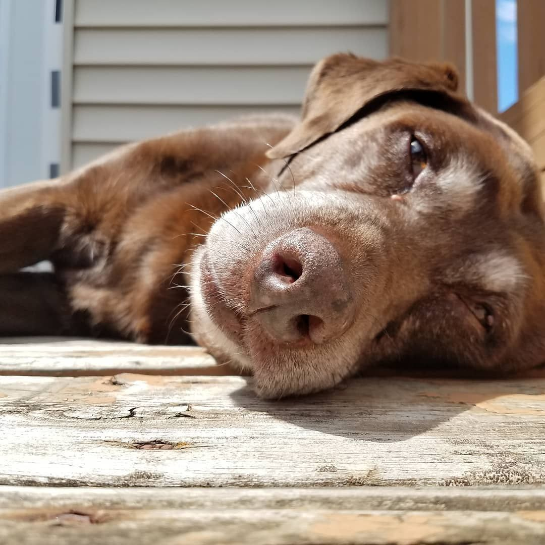 Older Labrador ???? | via @shayde.the.dog on Instagram #labradorretrieverpuppies