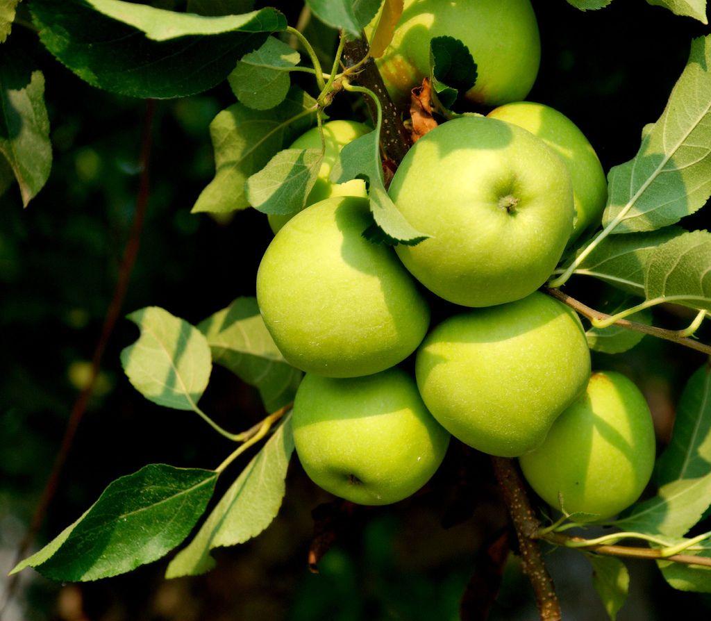Apple Farm, Apple Tree, Fruit