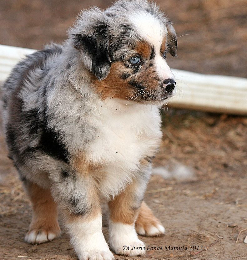 Pin On Australian Shepherd