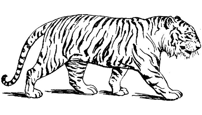60 Tiger Shape Templates Crafts Colouring Pages Tiger