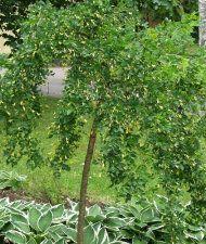 Riippahernepuu - Caragana arborescens 'Pendula'
