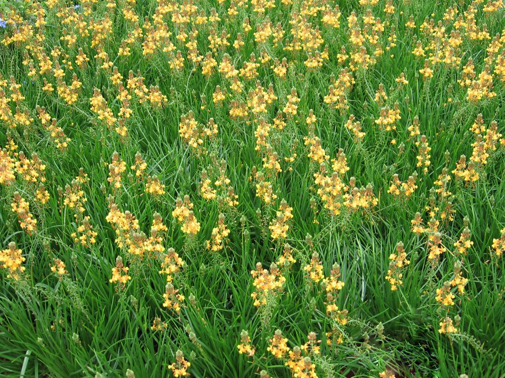 Ground covering the bulbine grows in clumps with blooms for Plant with tall spikes of yellow flowers