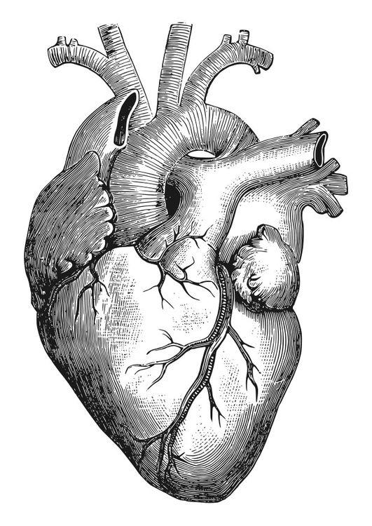 Dibujo Para Colorear Corazón Corazones Human Heart Drawing