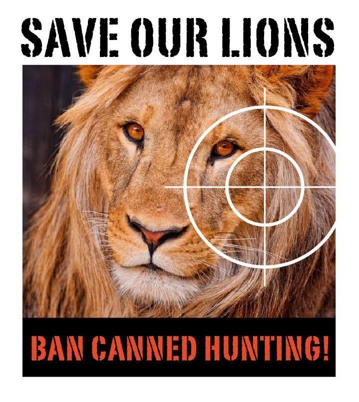 Er zijn al 160 leeuwenfokkerijen in Zuid-Afrika en het aantal stijgt nog steeds.