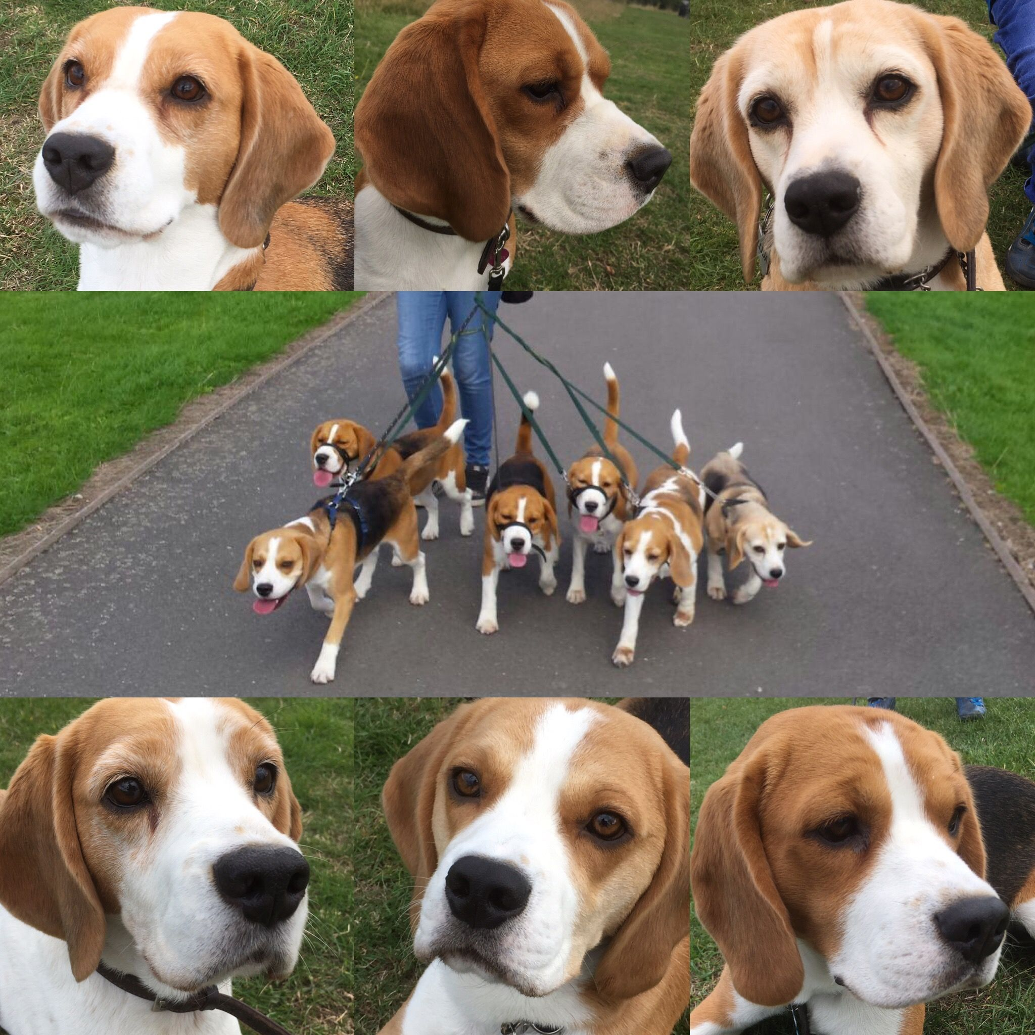 Quincerhound Beagles Beagle Breeds Cute Dogs Dog Lovers