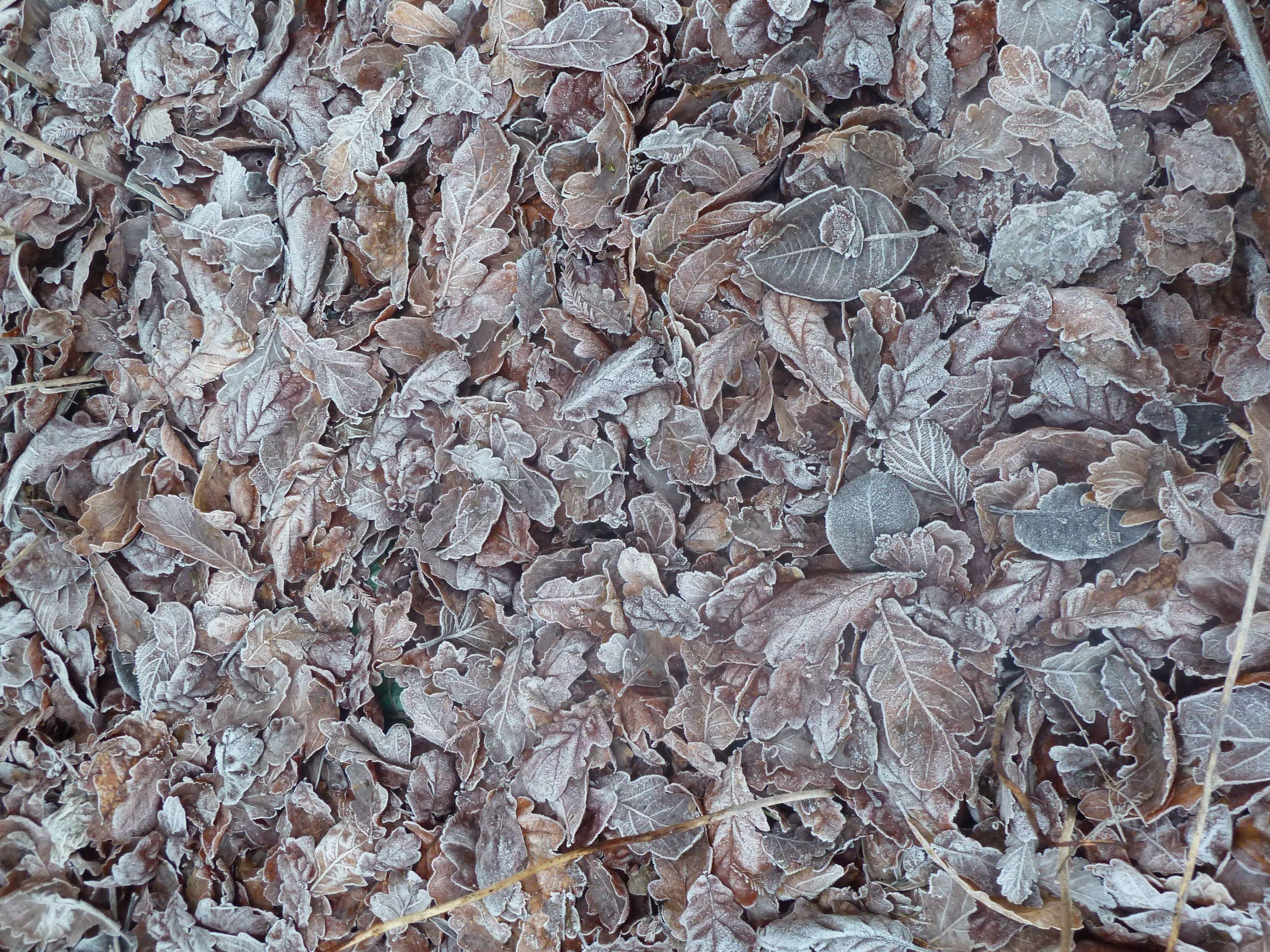 Frozen carpet of Leaves, Mount Stewart, December 2015