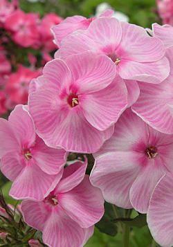 Флокс метельчатый Катенька-Катюша. Нежно-розового чистого тона, в центре белое высветление и малиновый глазок. Розовая штриховка по всему полю лепестков. Соцветие округло-коническое, плотное. Шикарный сорт, с крупными цветками светящегося, перламутрового оттенка! Куст прочный, пышный, устойчивый к болезням, зимостойкий, хорошо разрастается