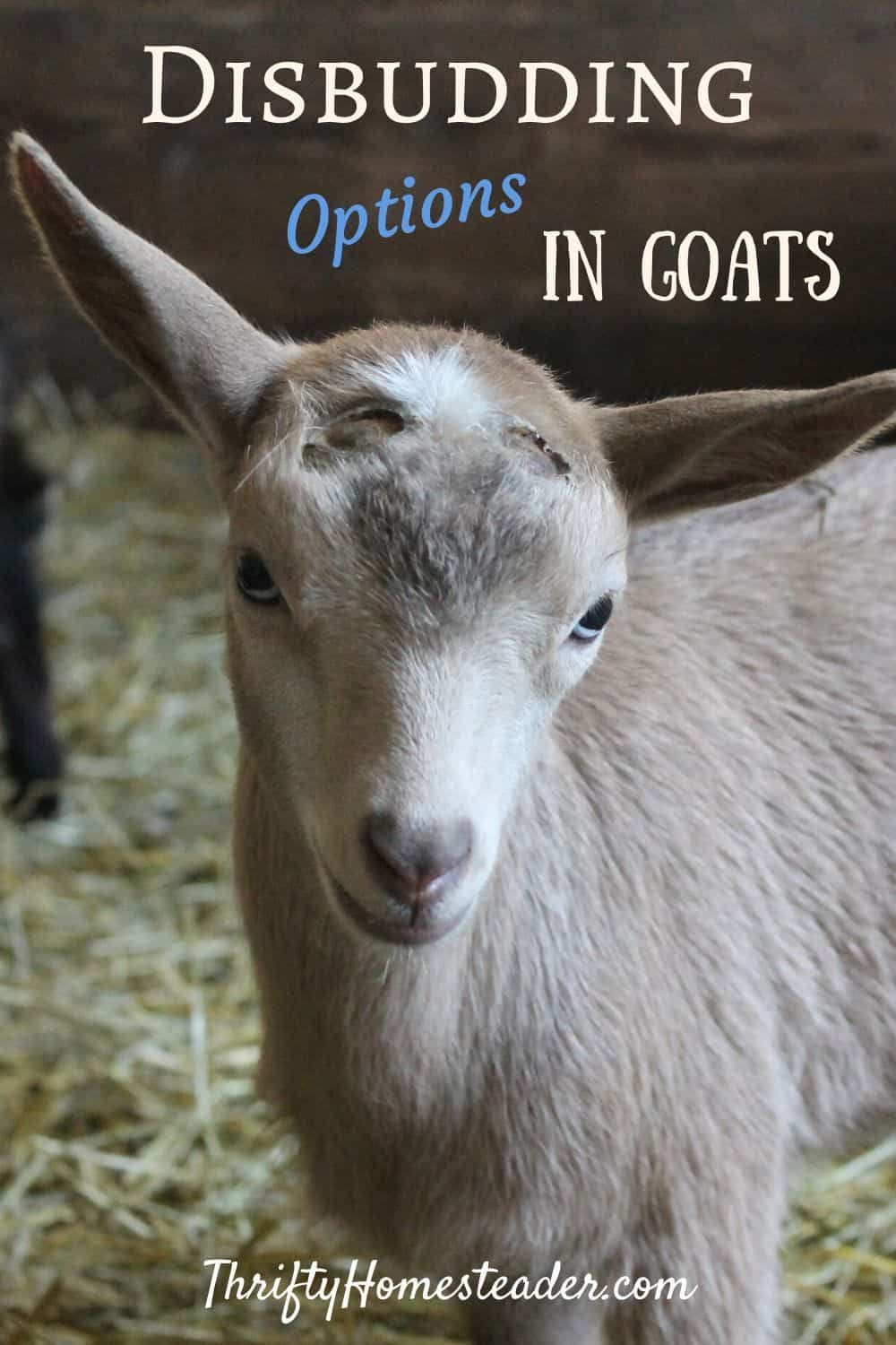 Goat Disbudding Options The Thrifty Homesteader In 2020 Goats Keeping Goats Breeding Goats