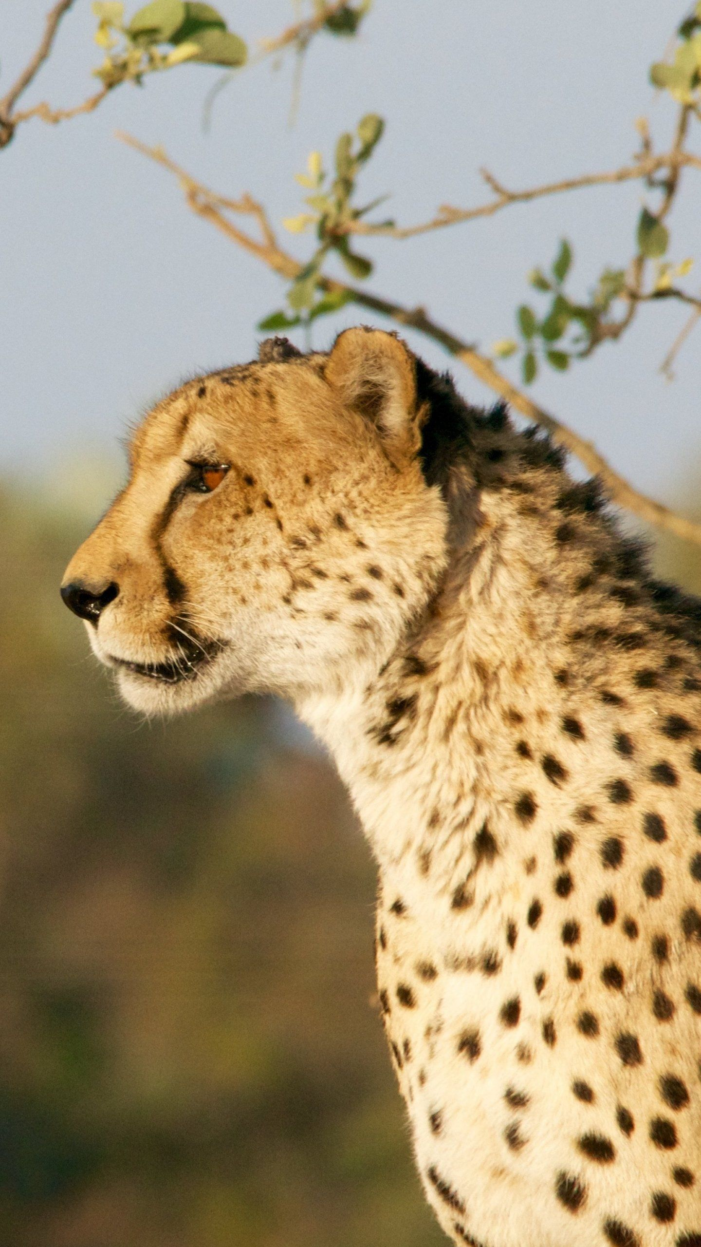 Free Mobile Wallpaper Of Cheetah Beautiful Awesome