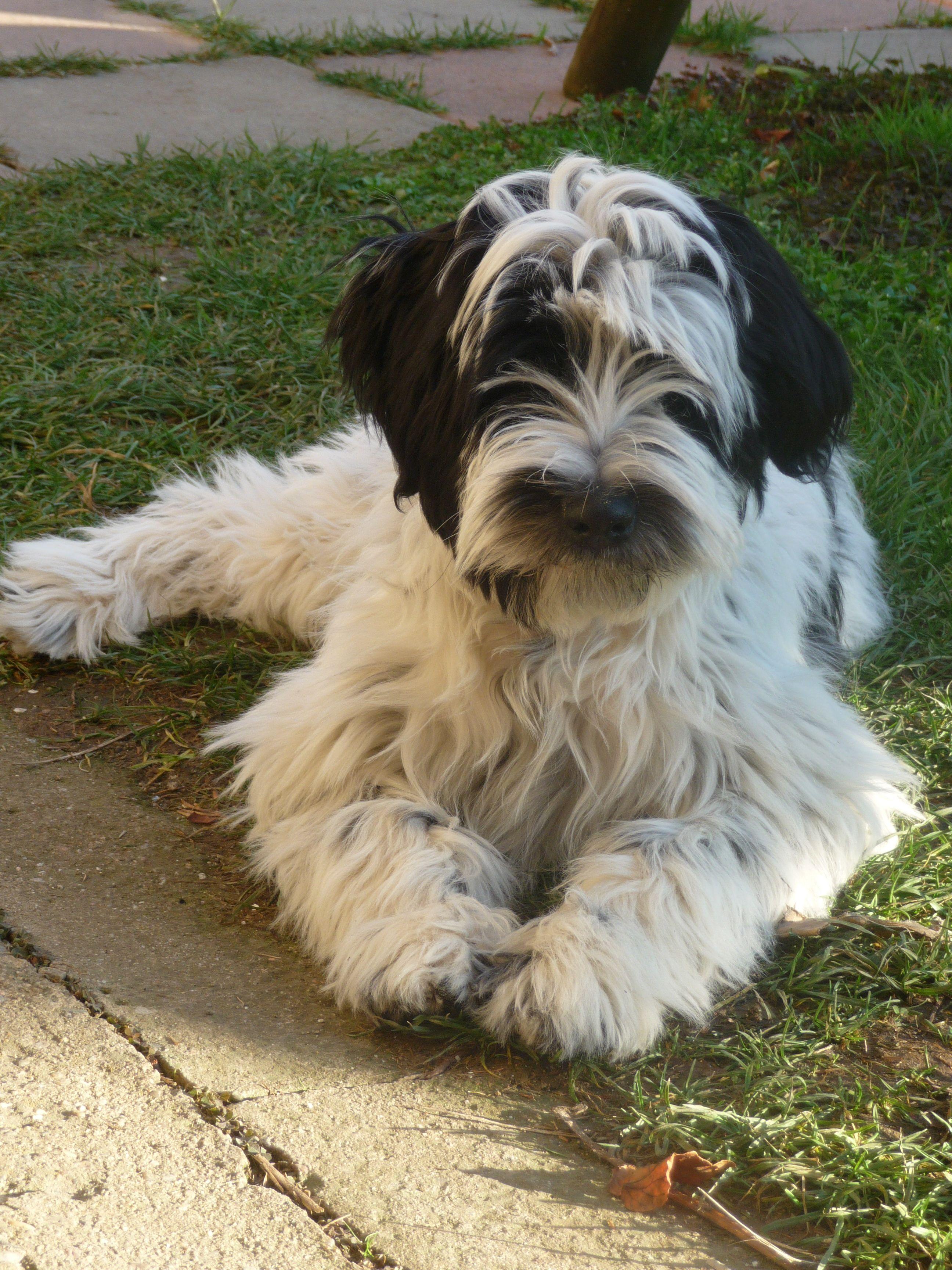 Tibetsky Terier Robin Columbo Of Wild Marry 4 5 Mesice Tibetan Terrier Dogs Terrier