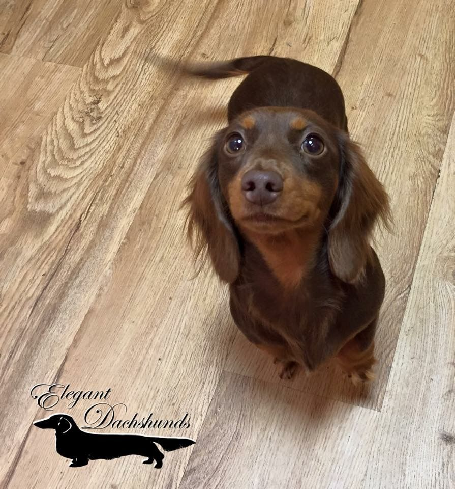 Dachshund Friendly And Curious Long Haired Dachshund